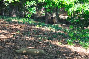 Самец и самка львов