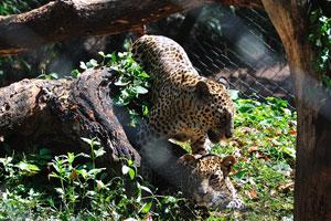Самец и самка леопарда