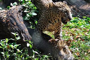 Леопард самый маленький из четырёх «больших кошек»