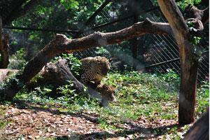 Леопарды живут в основном в лугах, лесистых местностях, и лесах на берегах рек