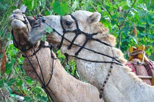 Верблюды жуют листья