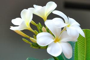 Белые цветы пахиподиума с жёлтым центром, как яичный желток