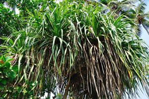 Высокое растение с зубчатыми листьями