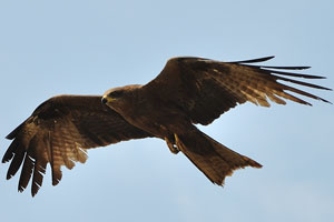 Орёл в воздухе