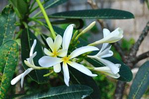 Некоторые цветы пахиподиума имеют очень тонкие лепестки