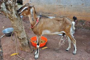 Индийская коза с короткими рогами