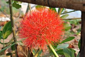 Вторжение экзотических сорняков. Красный цветок