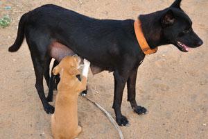 Чёрная сука кормит своего серого щенка