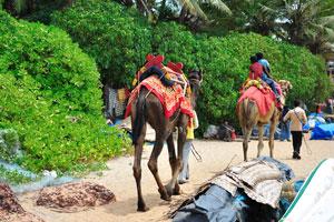 Верблюды уходят