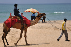 Верблюда ведут на поводке