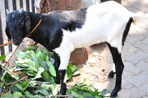 Бело-чёрная индийская коза