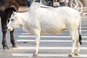 Коровы ходят в середине улицы