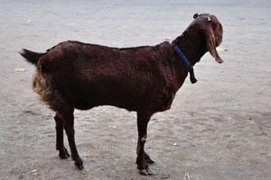 Вот коричневая индийская коза