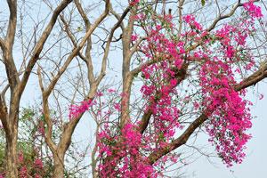 Эти очаровательные малиновые цветы цветут на безлистном дереве
