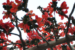 Бомбакс сейба, как и другие деревья рода Бомбакс, широко известен как хлопковое дерево