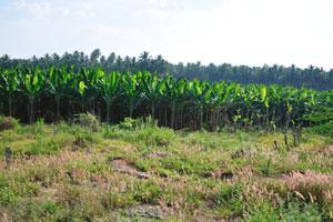 Большое количество банановых зарослей в Южной Индии