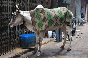 Корова в Нью-Дели