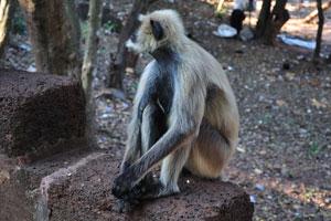 Обезьяна, живущая в Кхандагири