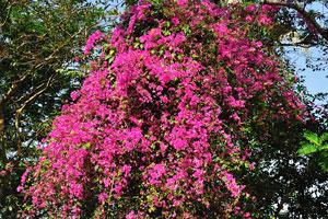 Дерево с большим количеством малиновых цветов