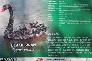 Плакат о чёрном лебеде