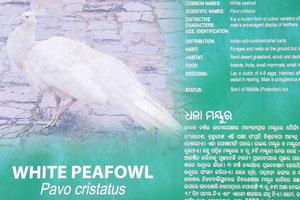Плакат о белом павлине