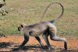 Обезьяна гуляет по зоопарку