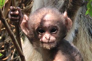 Детёныш обезьяны находится под защитой своего родителя
