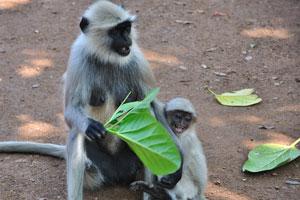 Самка обезьяны с её детёнышем