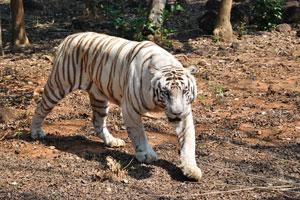 Белый тигр смотрит на меня