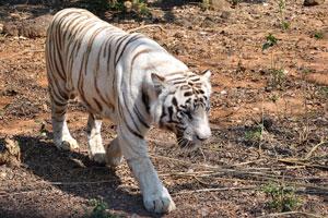 Белый мех белого тигра