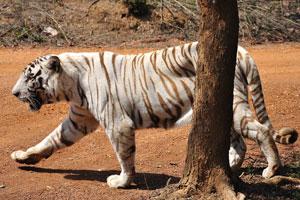 Белый тигр идёт позади дерева
