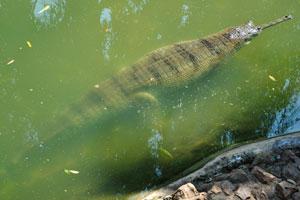Гангский гавиал в изумрудном пруде