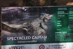 Плакат о крокодиловом каймане