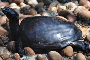 Чёрная водная черепаха