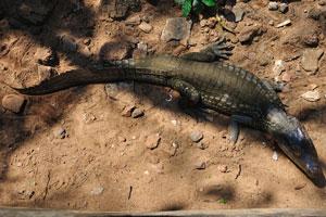 Небольшой крокодил