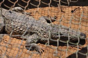 Большой серый крокодил