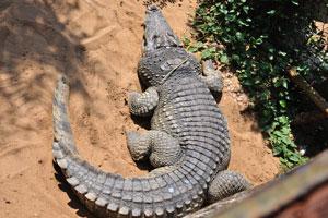 Люди бросают монеты на спину крокодила