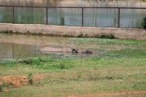 Носорог купается в воде