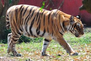 Обычный тигр