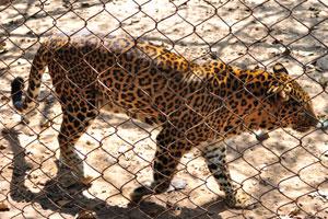 Шкура леопарда покрыта чёрными пятнами, собранными в розетки