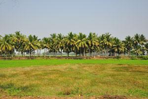 Кокосовые пальмы в штате Орисса