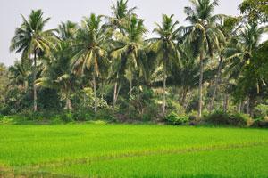 Кокосовые пальмы и рисовое поле