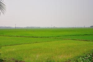 Зелёные поля в Индии
