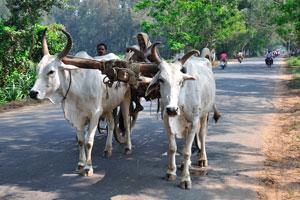 Индийские быки в упряжке