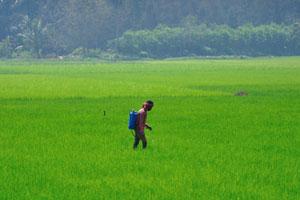 Фермер опрыскивает рисовое поле гербицидами