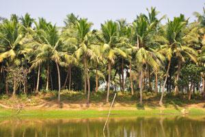 Кокосовые пальмы у пруда