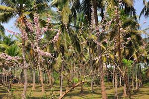 Кусты с розовыми цветами растут под кокосовыми пальмами