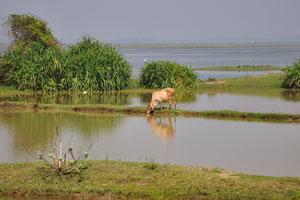 Корова пьёт воду