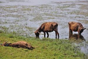 Телята азиатского буйвола