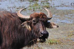 Азиатский буйвол любит быть в воде
